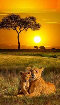 Image Lion & Petit Lionceau